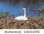Beautiful Swan On Its Nest In...