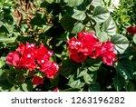 Paper Flower  Bougainvillea...