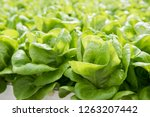 image of lush green cabbage... | Shutterstock . vector #1263207442