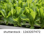 view of the hydroponics style... | Shutterstock . vector #1263207472