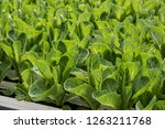 image of lush green cabbage... | Shutterstock . vector #1263211768