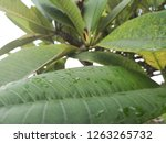 green leaves background  | Shutterstock . vector #1263265732