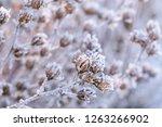 frozen plants in winter. dry... | Shutterstock . vector #1263266902