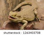 bearded dragon closeup | Shutterstock . vector #1263403708