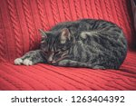 grey cute cat laying on red... | Shutterstock . vector #1263404392