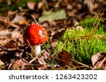 red amanita in moss | Shutterstock . vector #1263423202