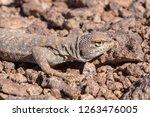 andina lizard  liolaemus andina ... | Shutterstock . vector #1263476005