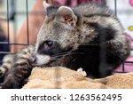 musk is lying in a steel cage. | Shutterstock . vector #1263562495