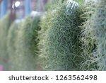 spanish moss in the garden. | Shutterstock . vector #1263562498