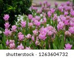 field of siam tulips or dok... | Shutterstock . vector #1263604732