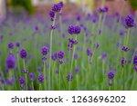 purple lavender flowers | Shutterstock . vector #1263696202