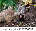 A Small Boar Yawns After A...