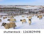 Goathland  Yorkshire  Uk. Sheep ...