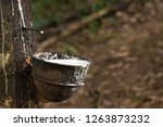 latex from uncultivated rubber... | Shutterstock . vector #1263873232