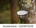 latex from uncultivated rubber... | Shutterstock . vector #1263873238