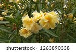 Small photo of Oleander funnel-shaped double flowers bloom in clusters at the twig tips. Cluster of a double-flowered, creamy white oleander (Nerium Oleander) flowers. Dainty, soft yellow oleander flowers on a shrub