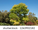 autumn colours of a chinese... | Shutterstock . vector #1263902182