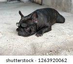 cute french bulldog wearing the ... | Shutterstock . vector #1263920062