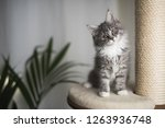 Blue Tabby Maine Coon Kitten...