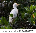 Cattle Egret  Bubulcus Ibis  In ...