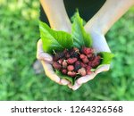 mulberry in hand with blurred... | Shutterstock . vector #1264326568