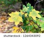 yellow leaves. autumn texture | Shutterstock . vector #1264343092