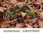 dry autumn leaves and grass on... | Shutterstock . vector #1264376005