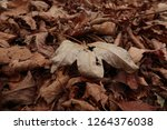 dry autumn leaf on the ground.... | Shutterstock . vector #1264376038
