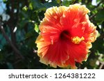 orange hibiscus flower | Shutterstock . vector #1264381222