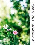 daisy garden   gardening ... | Shutterstock . vector #1264395562