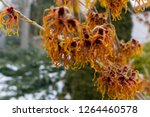 witch hazel  hamamelis  witch...   Shutterstock . vector #1264460578