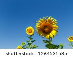 beautiful yellow sunflower... | Shutterstock . vector #1264531585