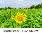 beautiful yellow sunflower... | Shutterstock . vector #1264532095