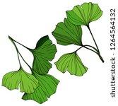 isolated ginkgo illustration... | Shutterstock . vector #1264564132