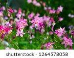 pink purple columbine ... | Shutterstock . vector #1264578058