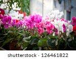 Winter Flowers  Cyclamen...