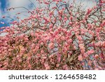 pink plum blossom flowers in... | Shutterstock . vector #1264658482