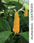 """lollipop plant"" flower  or... | Shutterstock . vector #1264785355"