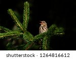 the tree pipit  anthus...   Shutterstock . vector #1264816612