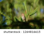 the tree pipit  anthus...   Shutterstock . vector #1264816615