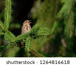 the tree pipit  anthus...   Shutterstock . vector #1264816618