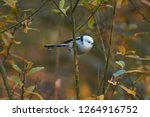 european long tailed tit ...   Shutterstock . vector #1264916752