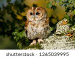 Tawny Owl  Strix Aluco  In The...