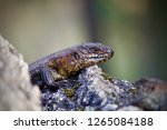 skink   australian lizard... | Shutterstock . vector #1265084188
