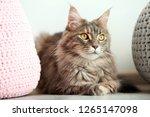 adorable maine coon cat near... | Shutterstock . vector #1265147098