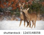 Mother And Son Roe Deer ...