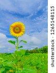 beautiful yellow sunflower and...   Shutterstock . vector #1265148115