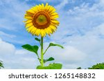 beautiful yellow sunflower and...   Shutterstock . vector #1265148832