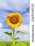 beautiful yellow sunflower and...   Shutterstock . vector #1265149225