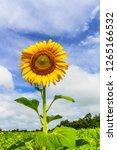 beautiful yellow sunflower and...   Shutterstock . vector #1265166532
